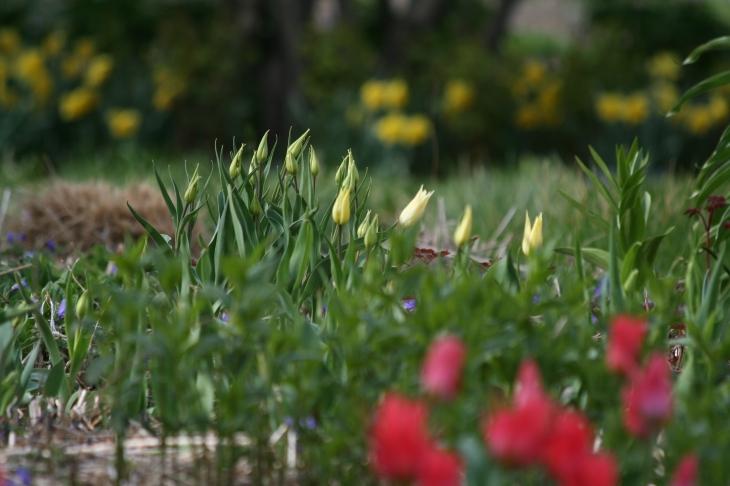 vit tulips